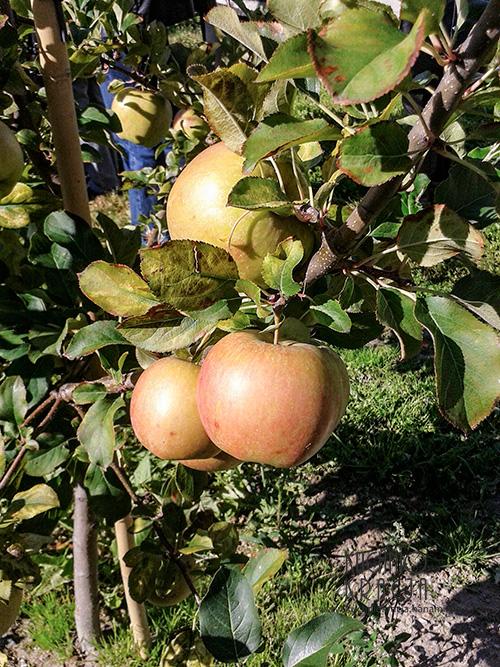 Jabłka, Wiatrowy Sad
